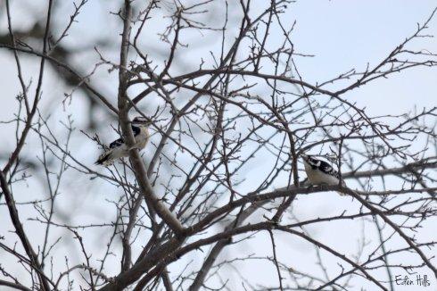 Woodpeckers_0248ew