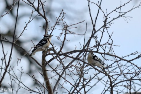Woodpeckers_0258ew