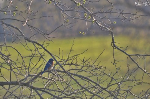 Bluebird_0060ew
