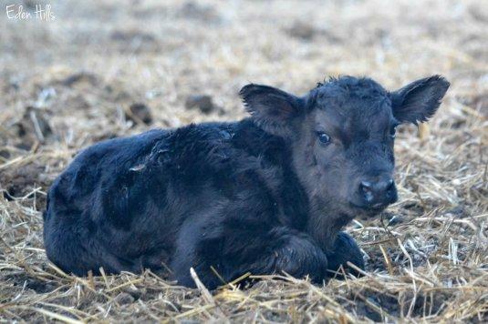 Bull Calf
