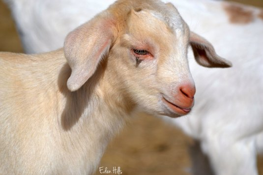 goat kid with eye clip