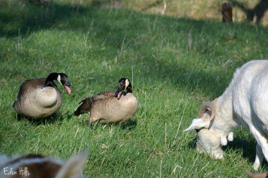 Geese_6826ew
