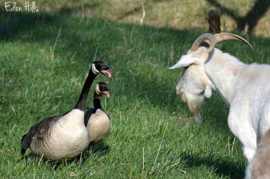 Geese_6828ew