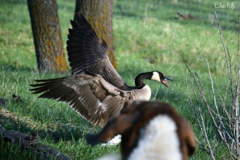 Geese_6851ew