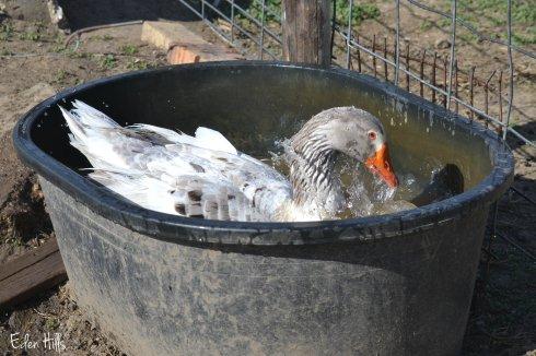 Goose Tub_0042aw