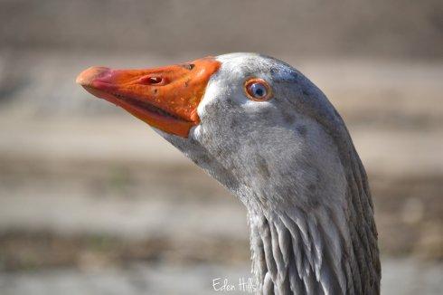 Goose Tub_0052w