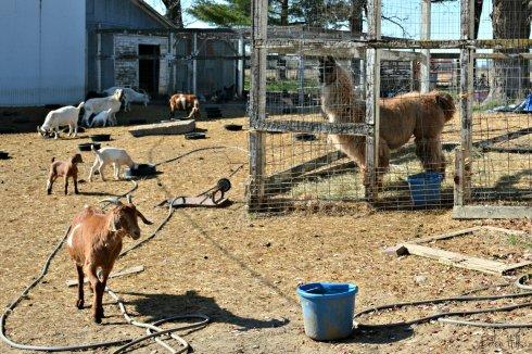 llama watching goats_7497ew