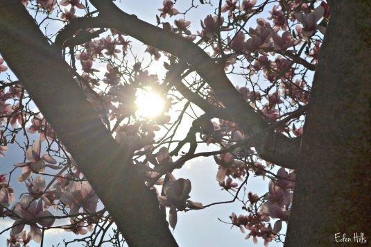 magnolia tree sunflare