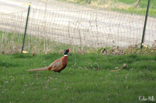 Pheasant_6913ew