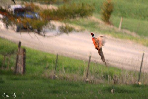 Pheasant_6916ew