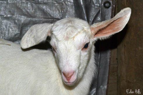 white doe goat kid