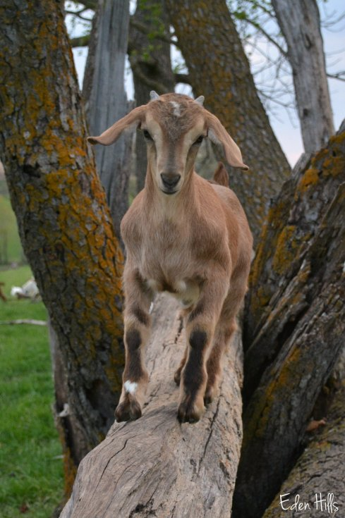 goat kid on log