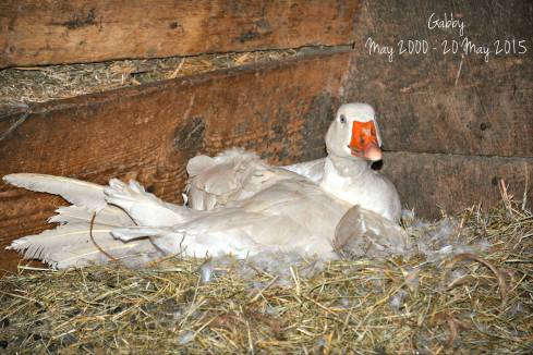 Embden goose on nest