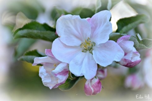 Apple Blossom_7804ew
