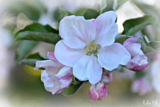 Apple Blossom_7804ew