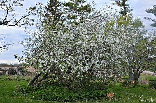 Apple Tree_7987ew
