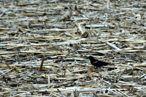 Blackbird_0384ew