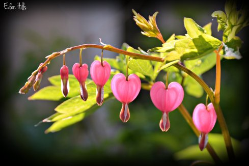 Bleeding Heart_7532ew