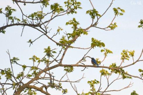 Bluebird_9301ew