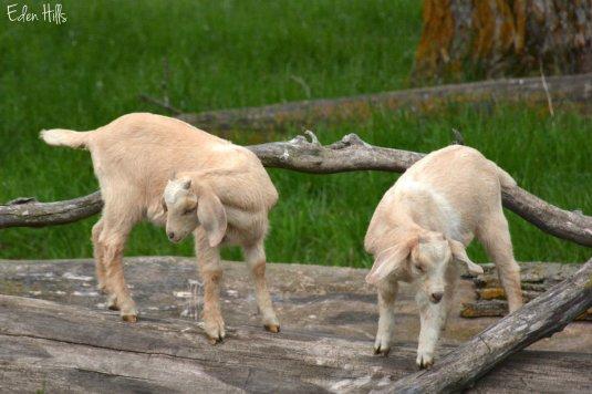 buff goat twins_0345ew
