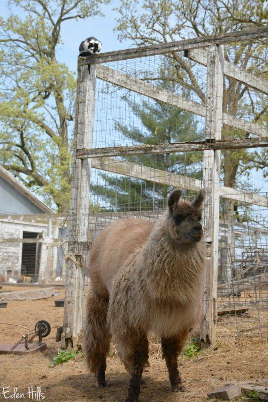 cat watching llama