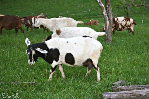 dairy goat_9040ew