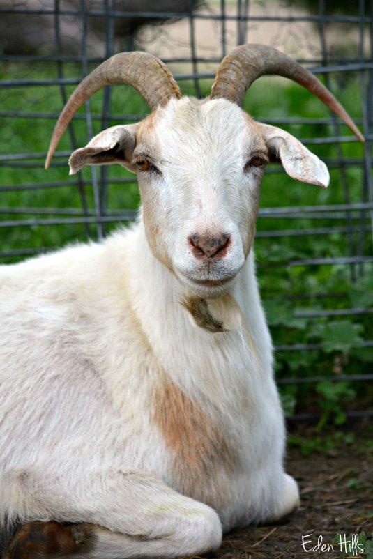 Doe goat_0634ew
