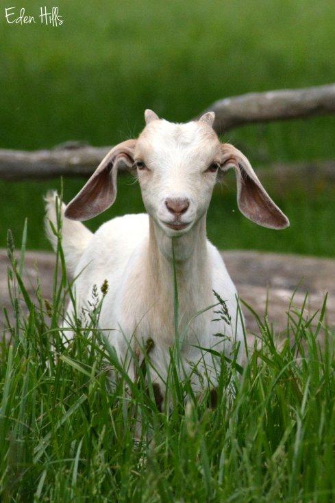 doeling goat_0351ew