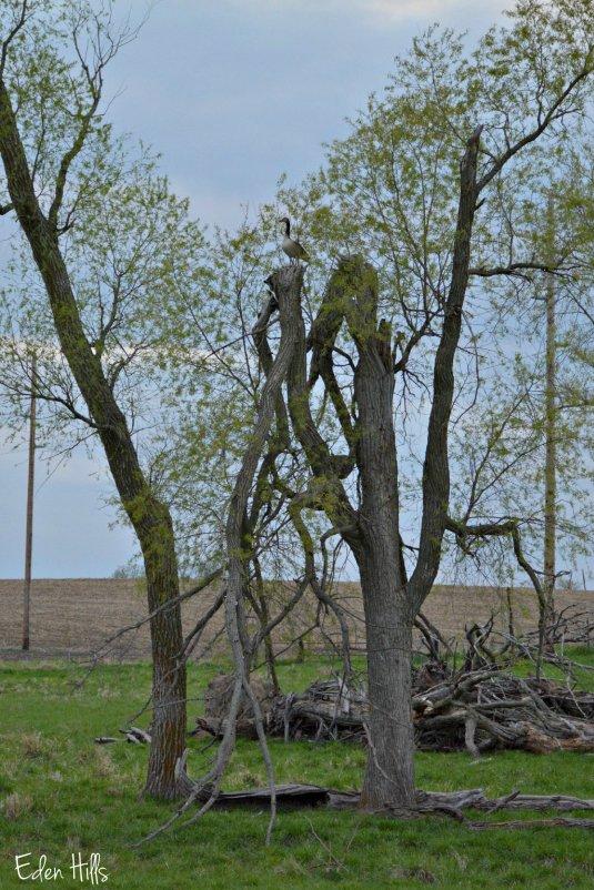 Gander in Tree_8034ew