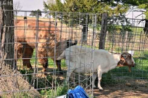goat and llama_8167ew