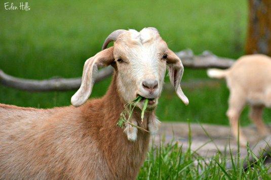 goat eating grass_0356ew