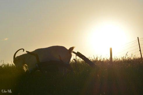 goat sunset_0058ew