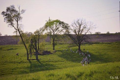 herd in pasture_9263ew