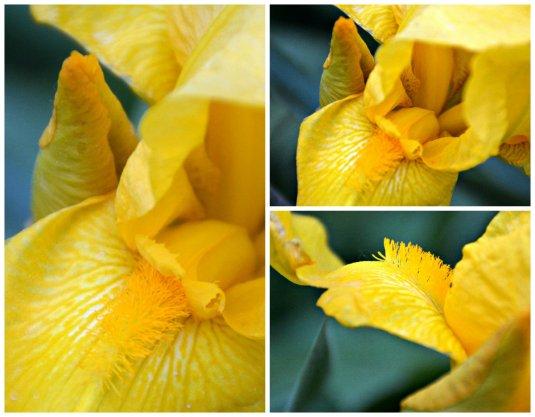 iris collage w