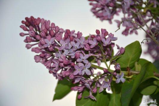 Lilac_7997ew
