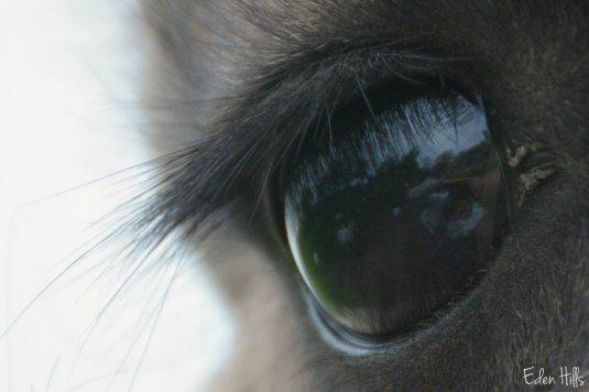 llama eye_9176ew