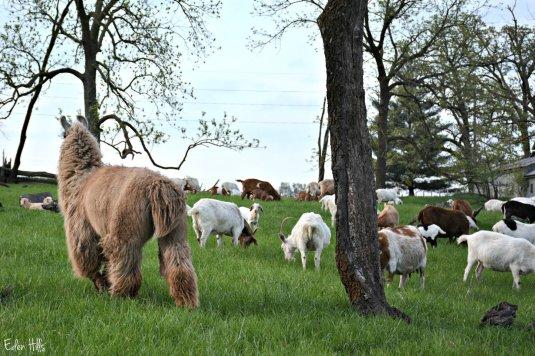 llama goats pasture_9020ew