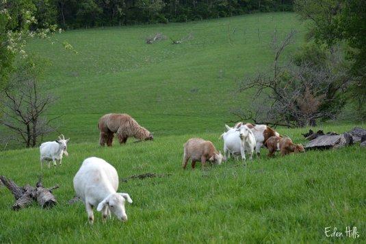 llama goats pasture_9044ew