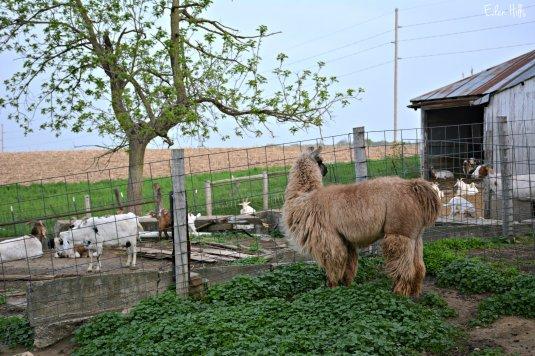 llama goats_8400ew