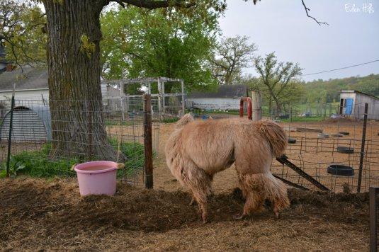 llama going through gate_8380ew