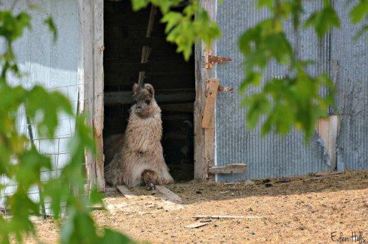 llama laying in barn_8825ew