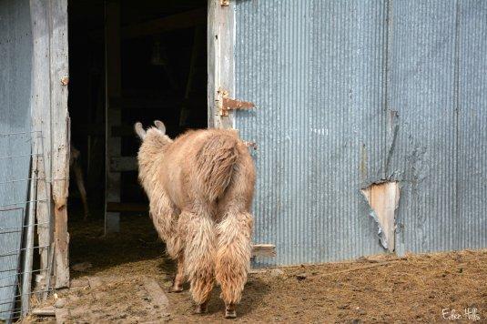 llama looking in barn_8447ew