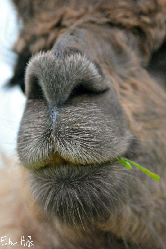llama nose_9173ew