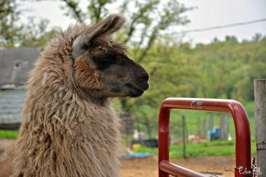 Llama_8450ew
