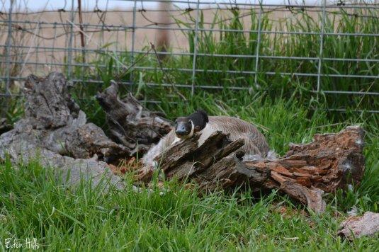 Nesting Goose_8038ew