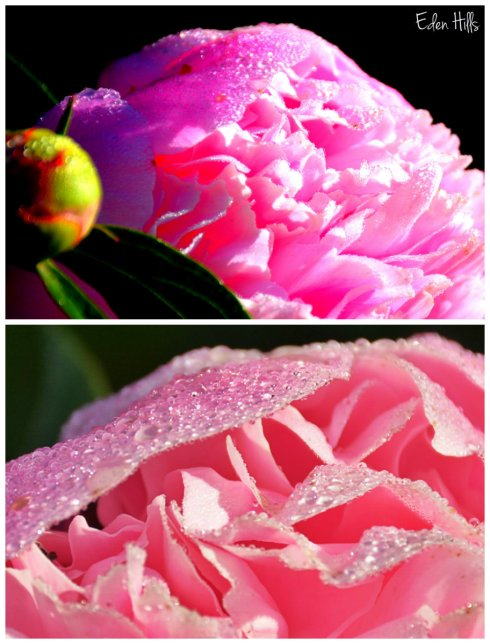 peony collage w
