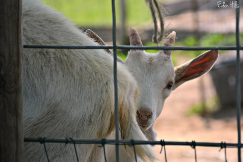 Saanen goats_8190ew
