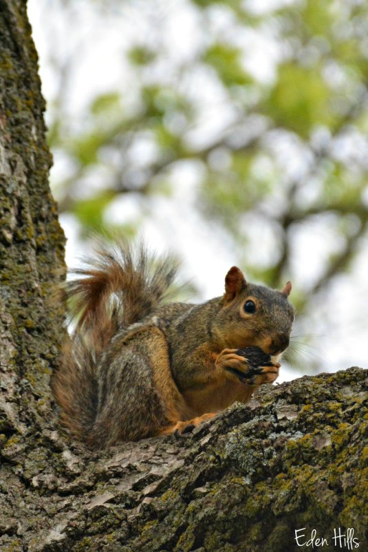 Squirrel_0373ew