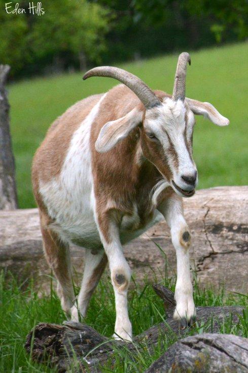 wether goat_0352ew