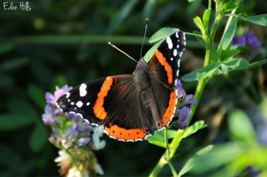 admiral butterfly on alfalfa